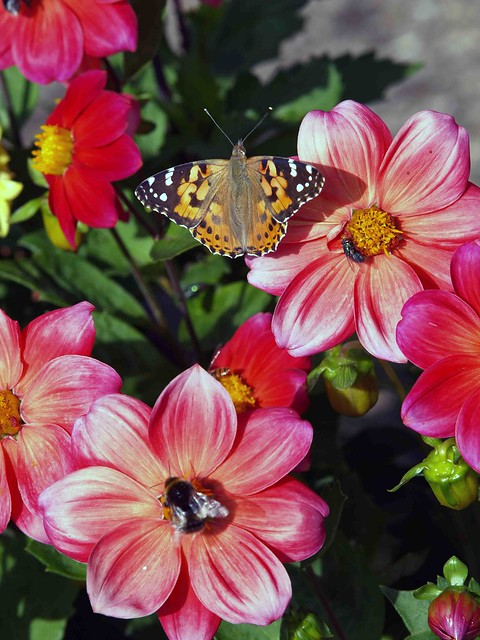 Dahlia and Painted Lady