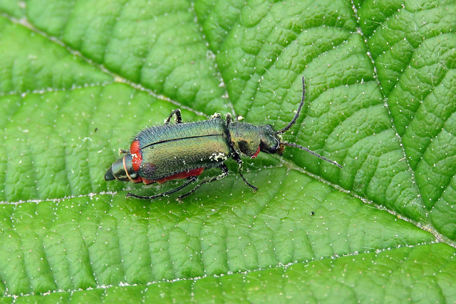 Malachite Beetle - Malachius bipustulatus