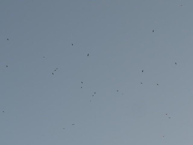 Gierzwaluwen boven Beek