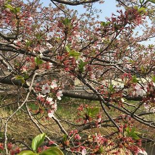 4月4日 矢那川の桜