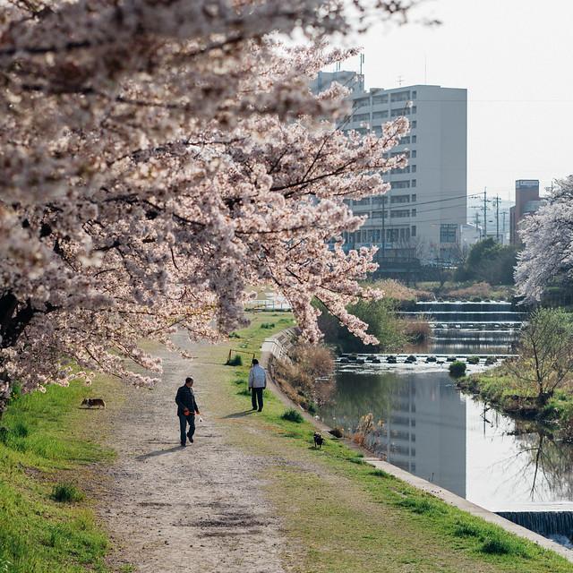 CherryBlossoms_213