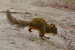 Оранжевобрюхая белка, Dremomys lokriah, Orange-bellied Himalayan squirrel