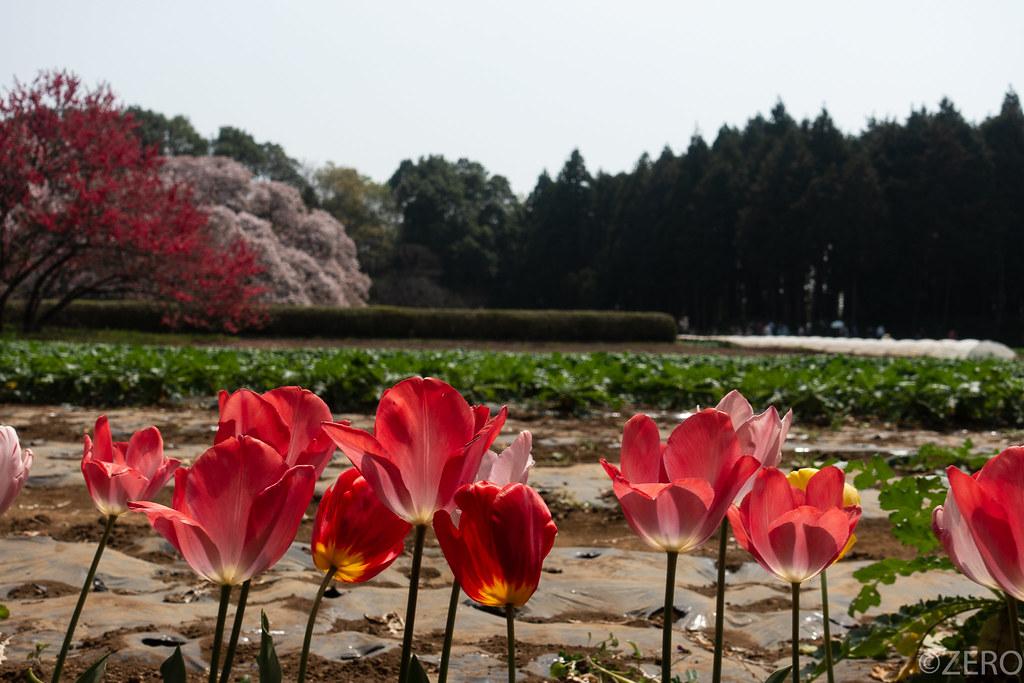吉高の大桜・M5-01393.jpg
