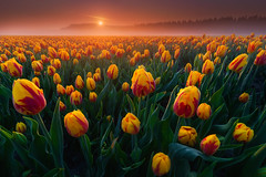Foggy Tulips