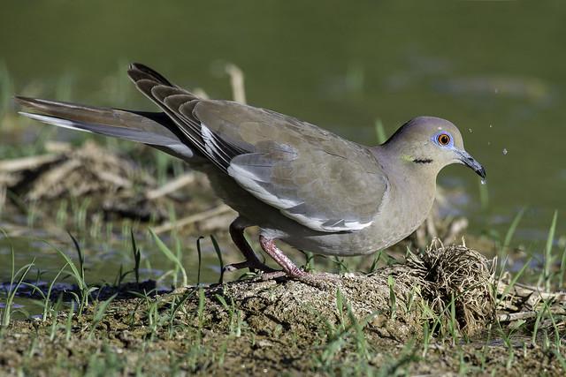 White-winged Dove, Nikon D610, AF-S Nikkor 200-500mm f/5.6E ED VR