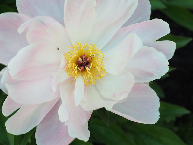 White flower with pink tinge
