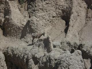 Big Horn Sheep Pinnacles Overlook 3