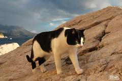 Cat @ Dubrovnik
