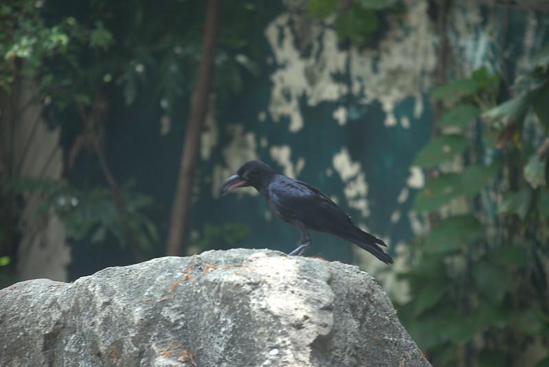 Large-Billed Crow DZ Bang 4-7-17 01