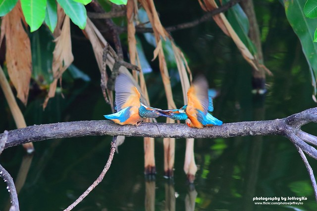 魚狗育雛(Common Kingfisher翠鳥)