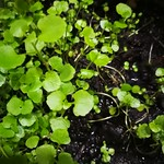 watercress planting in indoor plants by shiny