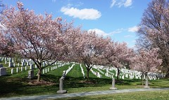 Cherry Blossoms in Arlington National Cemetery, April 8, 2018