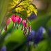 Small photo of Bleeding Heart