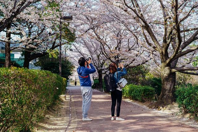 CherryBlossoms_207