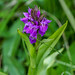 Southern Marsh Orchid - Dactylorhiza praetermissa