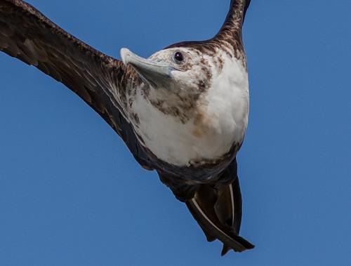 Magnificent frigatebird (closeup)