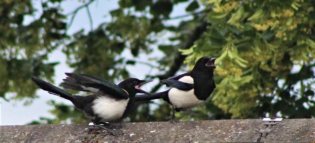 Magpie conflict