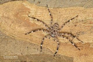 Flatty spider (Selenops sp.) - DSC_2724