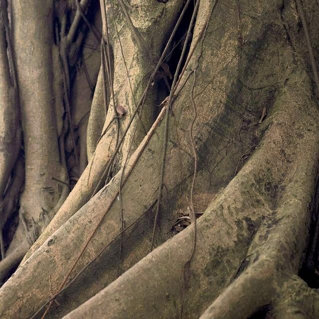 timber 香港古樹皮圖鑑樹木圖片2