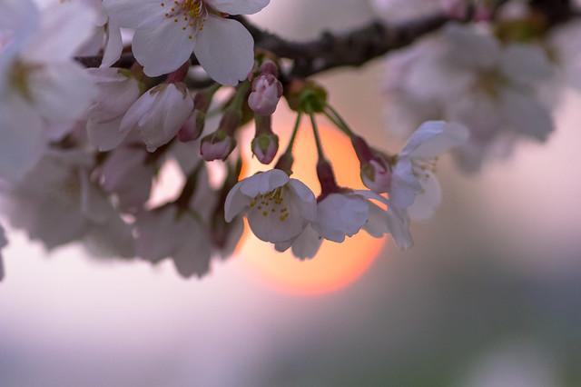 受難週の桜