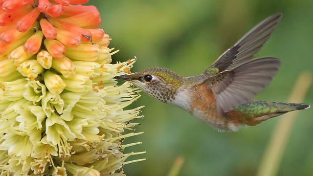 Rufous Hummingbird., Sony SLT-A77V, 70-400mm F4-5.6 G SSM