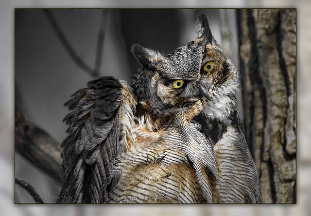 Great Horned Owl / Grand-duc d'Amérique / Bubo virginianus