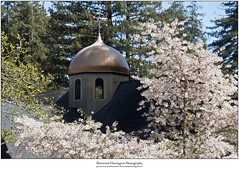 Church Dome in Redwoods and Cherry Blossoms