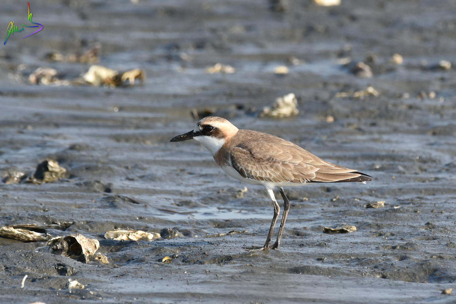 Greater_sand_plover_2263