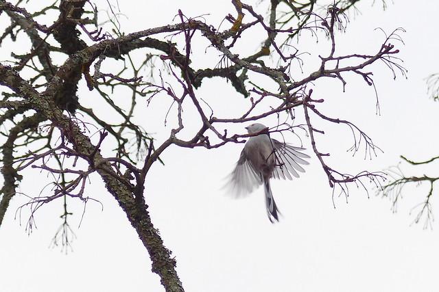 Aegithalos caudatus, long-tailed tit (Velskola manor, Espoo, 20180416)