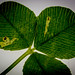Agromyza nana