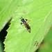 Crabro cribrarius  Slender Bodied Digger Wasp m