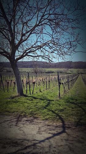 Windener Weingärten
