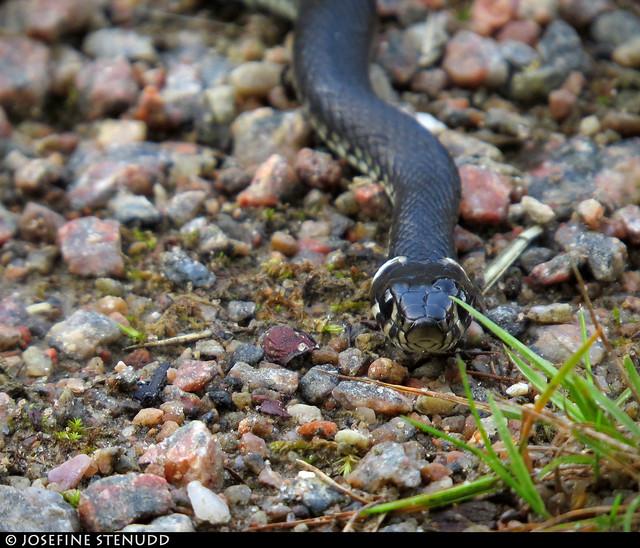20170808_5 Grass snake (Natrix natrix)   The Bohusleden trail, section 12 - Vassbovik to Glimmingen   Bohuslän, Sweden
