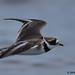 ringed plover 1 2018 in flight