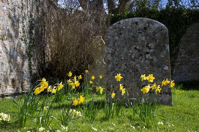 Daffodils, Loders Churchyard