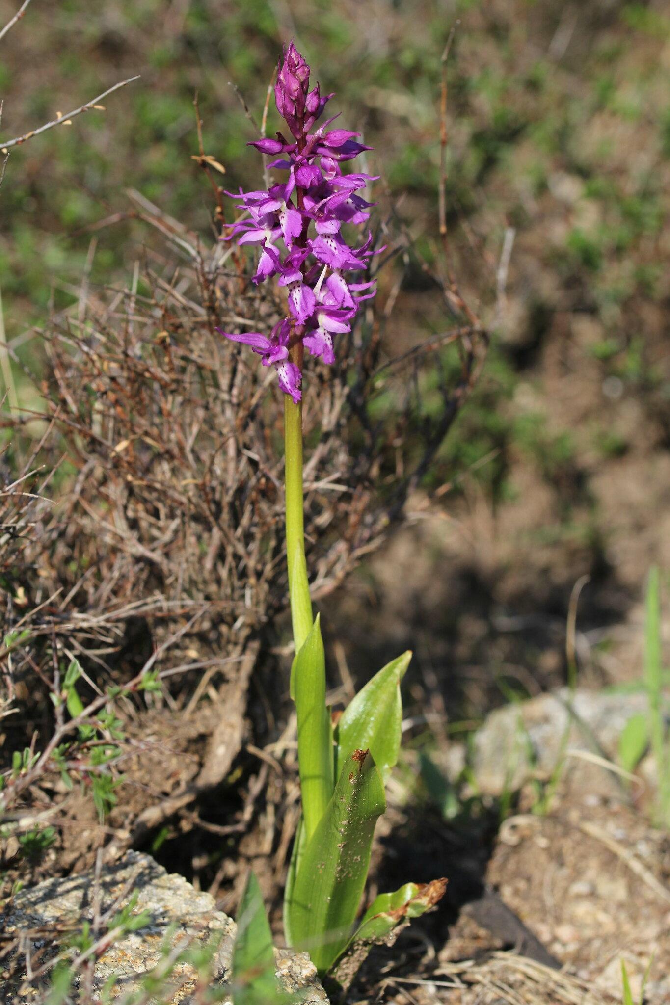 Présence Orchis ichnusae en Corse et problématique olbiensis 41273907272_2b64934704_k
