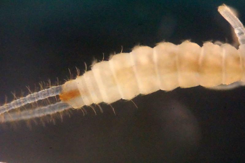 Campodea staphylinus?