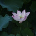 water lily at pond 蓮花池 by ddli008