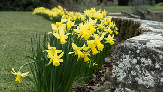 20180322-05_Coombe Abbey Country Park - Daffodils
