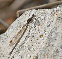 Common Winter Damselfly (Sympecma fusca) female