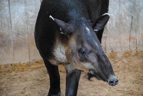 Tapir Closeup