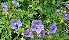 Bixton Blue cranesbill with a tiny bee