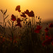 Backlit Poppies (089A6985-2)