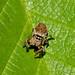 Jumping Spider --- Evarcha falcata  ( female )