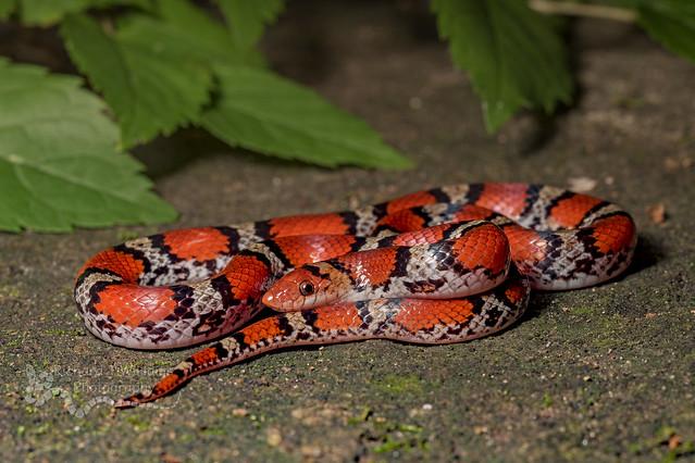 Northern Scarlet Snake(Cemophora coccinea)
