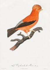 Andean cock-of-the-rock from Histoire Naturelle des Oiseaux de Paradis et Des Rolliers (1806) by Jacques Barraband (1767-1809).