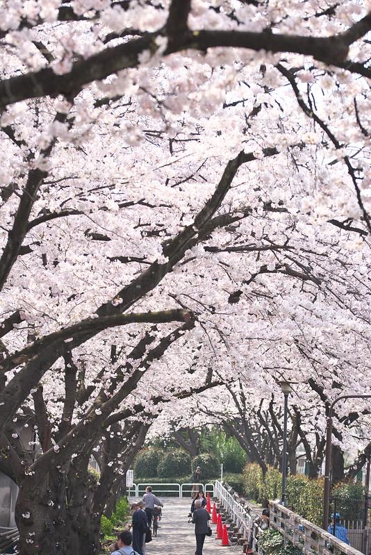 三河島水再生センター 桜の通り抜け