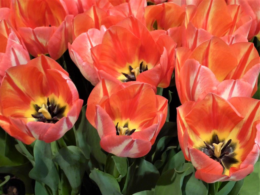 Chicago Navy Pier Chicago Flower And Garden Show Red Tu Flickr