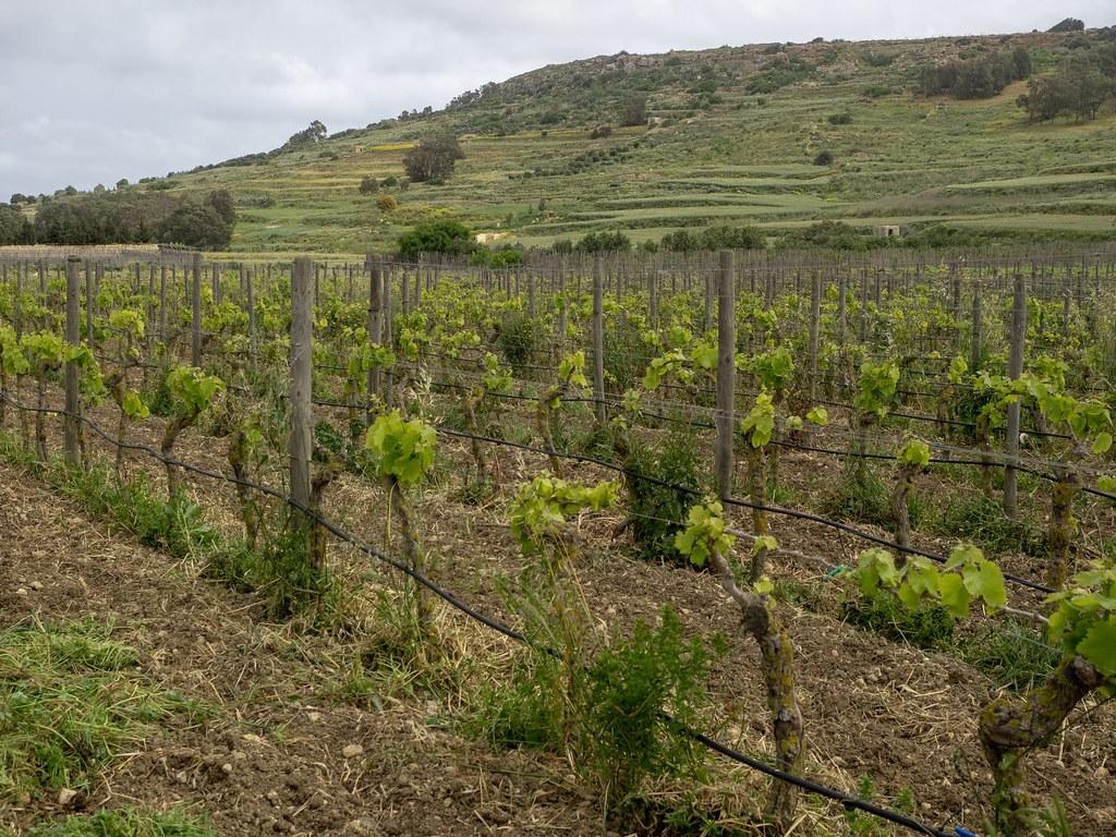 Gozitan wine