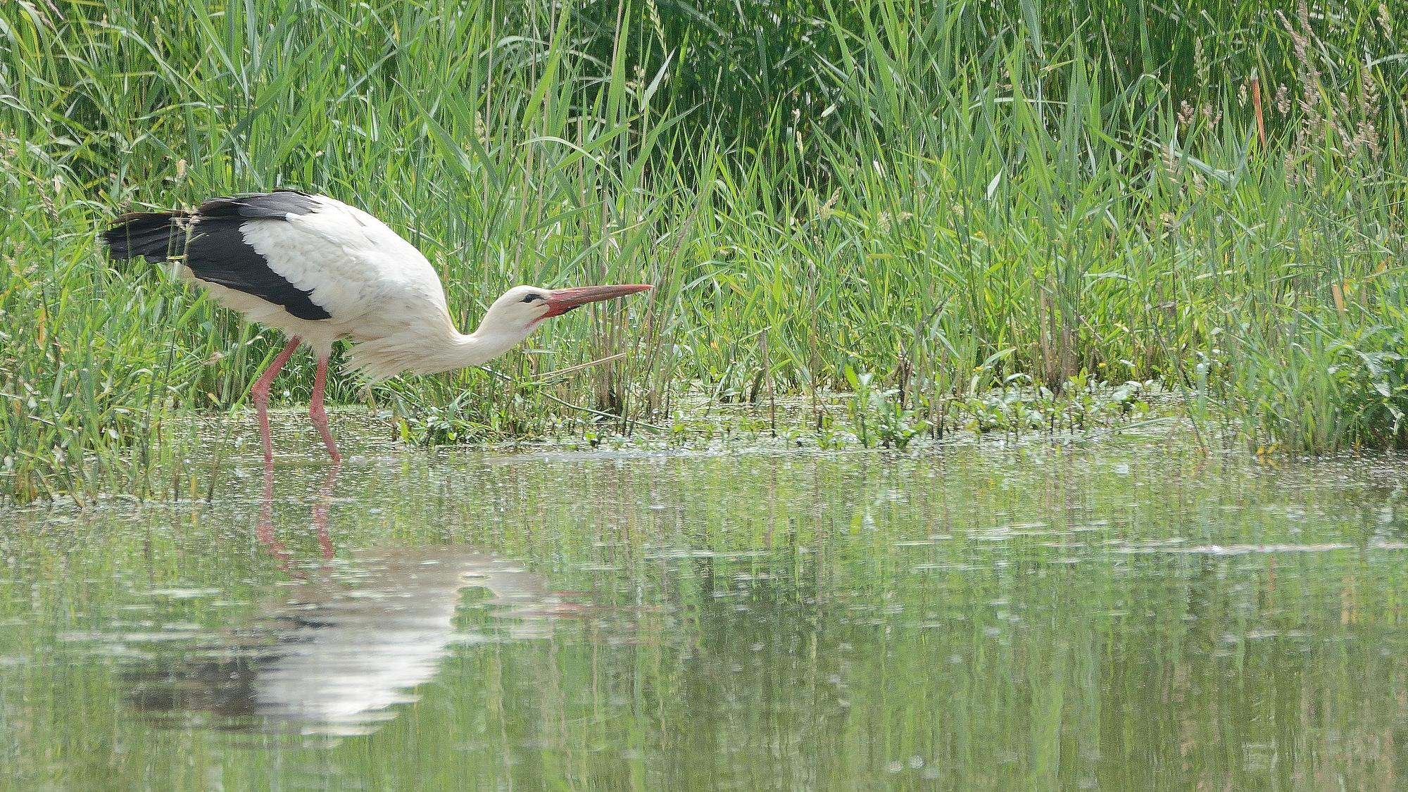 Cigognes blanches dans la Dombes 27513147247_0b41c2e9be_o